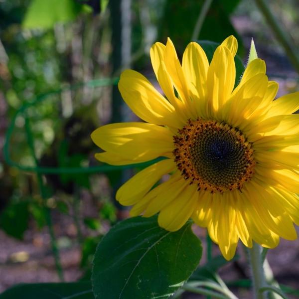 A community garden borders Thornton Oaks